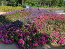 [현장 포토] 가평 자라섬 남도 꽃정원의 아름다운 풍경